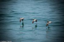 Un grupo de Pelicanos muy peculiar